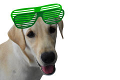 Labrador Retriever. Brown dog breed Labrador Retriever 6 months of age, wearing glasses bright colors on white background and with space for your copy Stock Images
