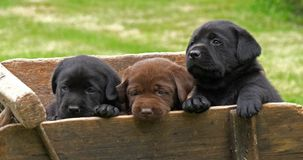 Labrador Retriever, Brown i Czarni szczeniaki w Wheelbarrow, Normandy w Francja, zwolnione tempo zbiory wideo