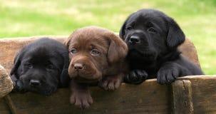 Labrador Retriever, Brown i Czarni szczeniaki w Wheelbarrow, Normandy w Francja, zwolnione tempo zdjęcie wideo