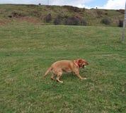Labrador retriever catching ball Royalty Free Stock Image