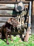 Labrador retriever, cazando el arma y los trofeos fotos de archivo libres de regalías