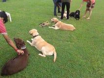 Labrador retriever che aspettano esposizione canina Fotografia Stock