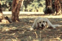Labrador retriever che gioca con il bastone Fotografia Stock Libera da Diritti