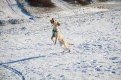 Labrador retriever che gioca palla Fotografia Stock