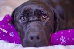 Labrador retriever che riposa con il suo giocattolo di Natale Immagini Stock Libere da Diritti