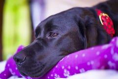 Labrador retriever che riposa con il suo giocattolo di Natale Fotografia Stock