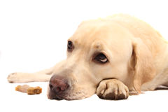 Labrador retriever with chewing bone Royalty Free Stock Photo