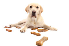 Labrador retriever with chewing bones Royalty Free Stock Photography