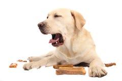 Labrador retriever with chewing bones Royalty Free Stock Photos