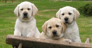 Labrador retriever, chiots jaunes dans une brouette, baîllant, Normandie en France, mouvement lent clips vidéos