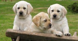 Labrador retriever, chiots jaunes dans une brouette, Normandie en France, mouvement lent banque de vidéos