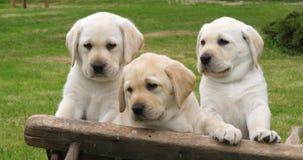 Labrador retriever, chiots jaunes dans une brouette, Normandie en France, mouvement lent clips vidéos