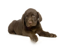 Labrador retriever chocolate Stock Image