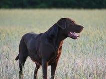 Labrador Retriever chocolate royalty free stock images
