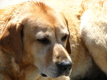 Labrador Retriever close-up Stock Photos