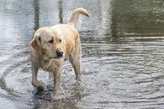 Labrador retriever coming out of the water. royalty free stock images