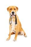 Labrador retriever con il guinzaglio in bocca Immagini Stock Libere da Diritti