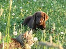 Labrador retriever con un gato imagen de archivo libre de regalías