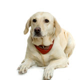 Labrador retriever cream Royalty Free Stock Photo