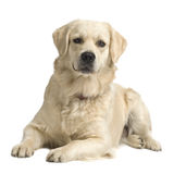 Labrador retriever cream Stock Photography