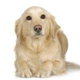 Labrador retriever cream Royalty Free Stock Photography