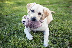 Labrador Retriever. With a cuddly toy Royalty Free Stock Image