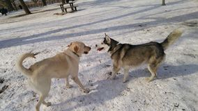 Labrador retriever cumprimenta um cão de puxar trenós Siberian no parque Imagens de Stock Royalty Free