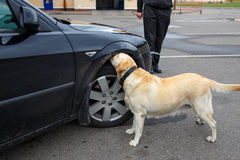 Labrador retriever Customs dog. Looking for items prohibited for transfer through the border Stock Photo