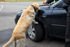 Labrador retriever Customs dog Royalty Free Stock Photography