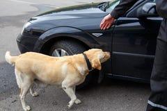 Labrador retriever Customs dog Royalty Free Stock Images
