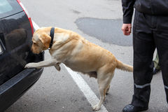 Labrador retriever Customs dog. Looking for items prohibited for transfer through the border Stock Image