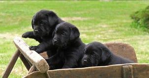 Labrador Retriever, Czarni szczeniaki w Wheelbarrow, Normandy w Francja, zwolnione tempo zbiory