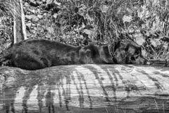 Labrador Retriever Czarny pies kłaść na fontannie ono odświeżać Fotografia Stock