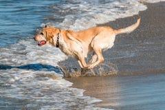 Labrador retriever d'or fonctionnant sur la plage Image libre de droits