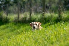 Labrador retriever dans l'herbe photos stock