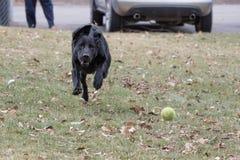 Labrador retriever, das Ball im Park holt stockfotos