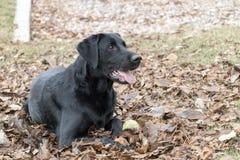 Labrador retriever, das in den getrockneten Blättern stillsteht stockbild