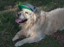 Labrador retriever, das eine Baseballmütze trägt Lizenzfreies Stockfoto