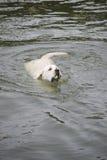 Labrador retriever, das einen Tennisball von einem See holt Lizenzfreie Stockfotografie