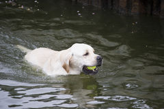 Labrador retriever, das einen Tennisball von einem See holt Stockfoto