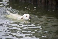 Labrador retriever, das einen Tennisball von einem See holt Stockbilder