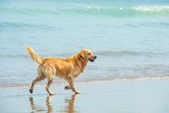 Labrador retriever, das am Strand spielt Lizenzfreie Stockfotos