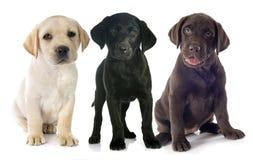 Labrador retriever de los perritos Imagen de archivo