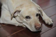 Labrador retriever de Niuniu Fotografía de archivo libre de regalías