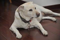 Labrador retriever de Niuniu Foto de archivo