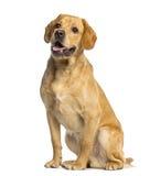 Labrador retriever, de 1 an, séance et halètement photos libres de droits