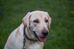 Labrador retriever de sourire, aussi Labrador, labradorite pour une promenade a fermé ses yeux Photos libres de droits