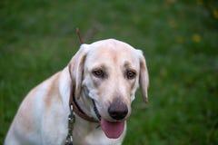 Labrador retriever de sourire, aussi Labrador, labradorite pour une promenade a fermé ses yeux Photos stock
