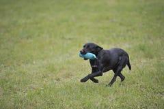 Labrador retriever de trabalho Foto de Stock Royalty Free