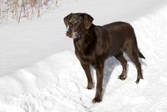 Labrador retriever del chocolate Imágenes de archivo libres de regalías